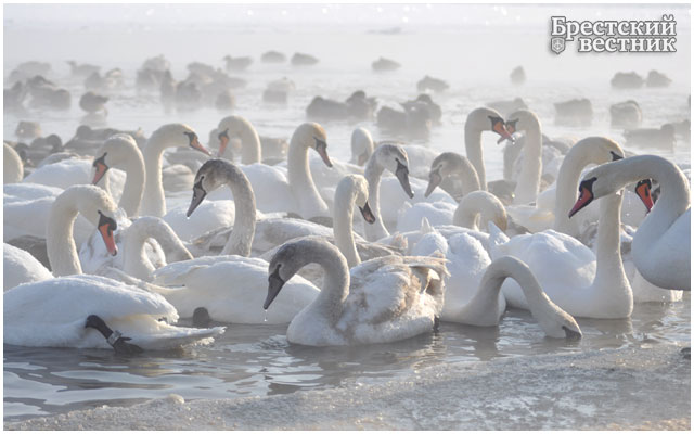 Зимовка птиц в Бресте