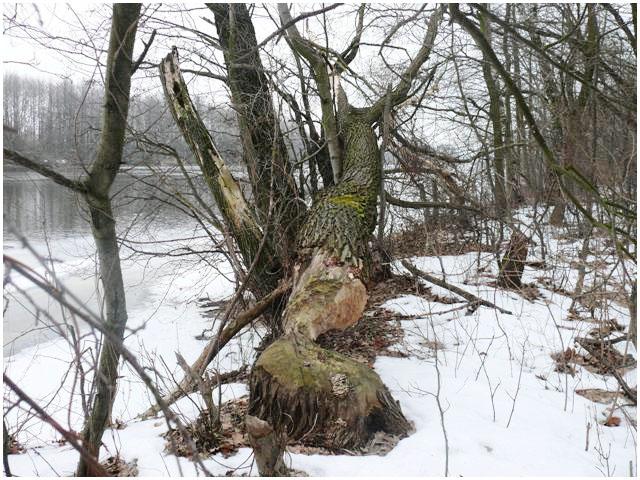 Бобры валят деревья