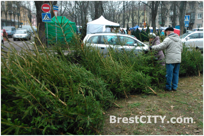 Продажа живых елей в Бресте. Декабрь 2013