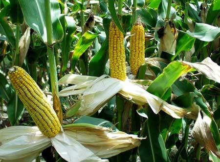Кража кукурузы с поля