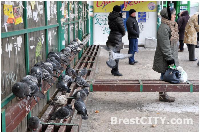 Зимовка голубей на остановке общественного транспорта