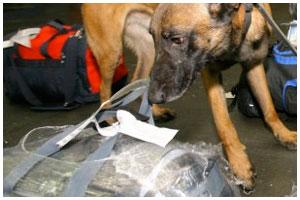 Поиск наркотиков с помощью служебной собаки