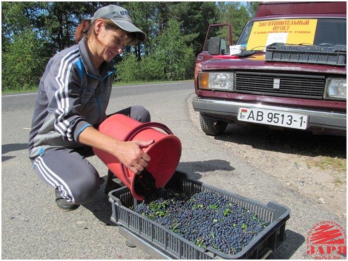 Заготовка и сбор черники в Ганецевичском районе