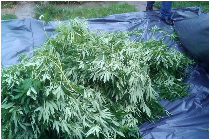 Брестчанин выращивал коноплю у себя во дворе