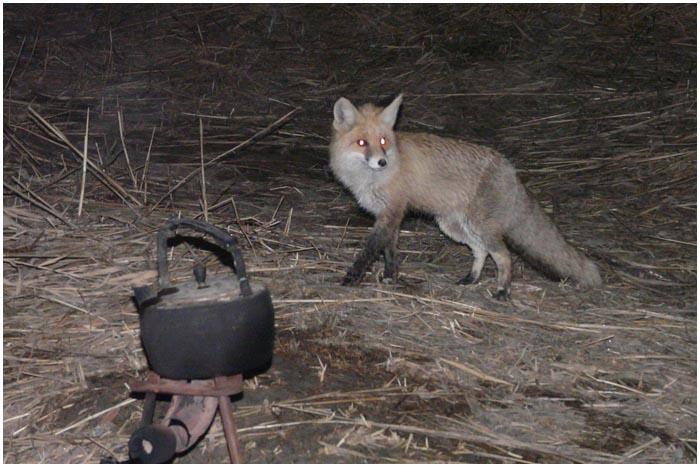 В центре Бреста гуляют лисы