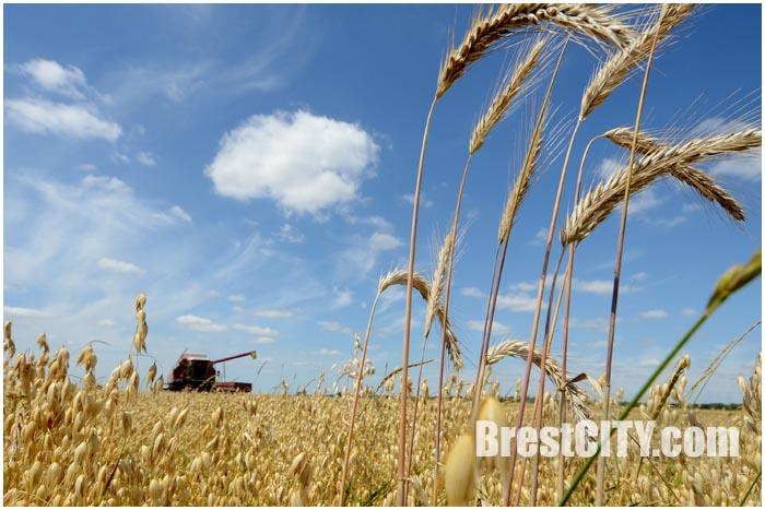 Уборка зерна в Брестской области