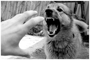 Злая собака без намордника