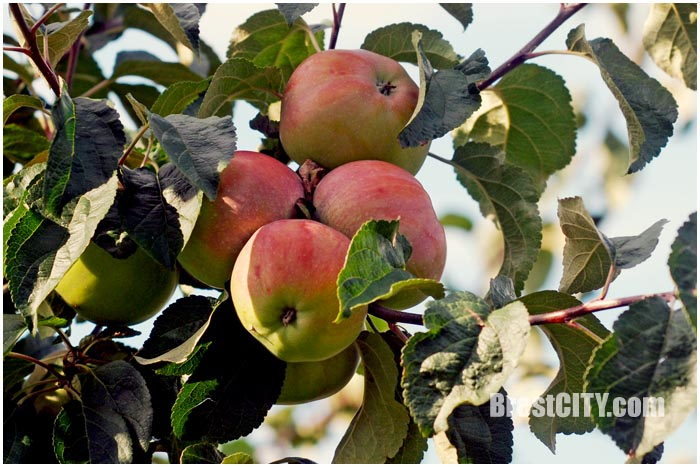 Яблоко на дереве. Фото BrestCITY.com