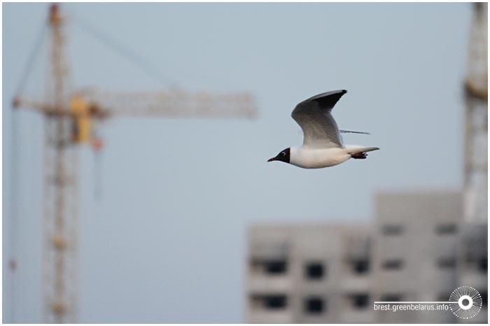 Чайки гнездятся в Бресте на Ковалево возле новой стройки