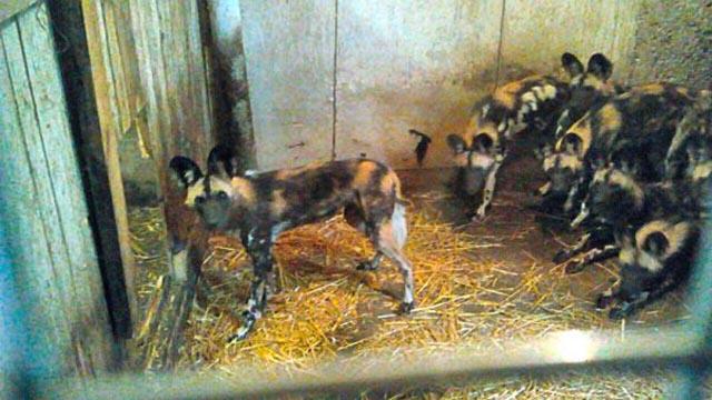 Семь гиен прятали в сарае возле Кобрина