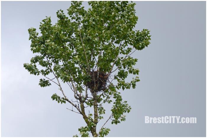 Дерево с гнездом на проспекте Машерова спиливать не стали