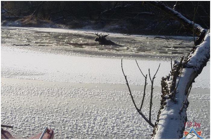 В Бресте на Лесной под лед провалился лось