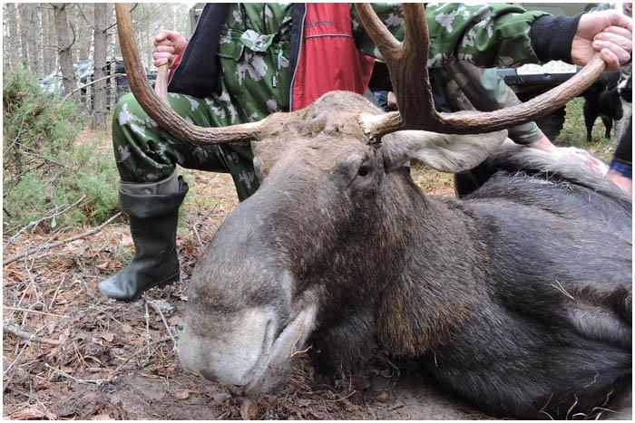 Охота на лося в Беловежской пуще