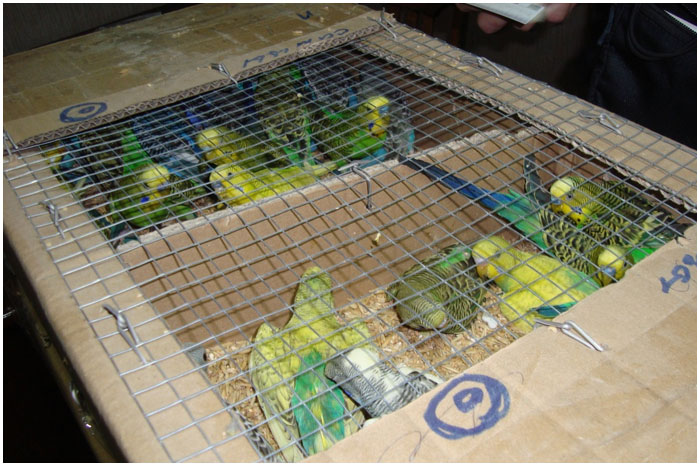 Попугаи в коробках. Контрабанда пернатых