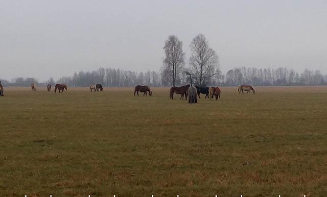 Табун польских лошадей