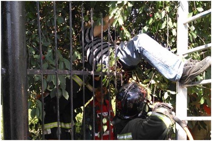 Собирал вишни и застрял в заборе