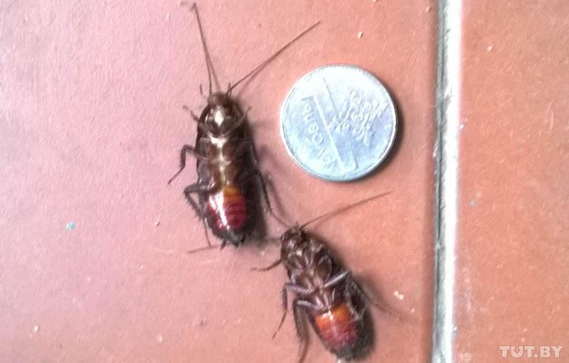 Тараканы в Бресте