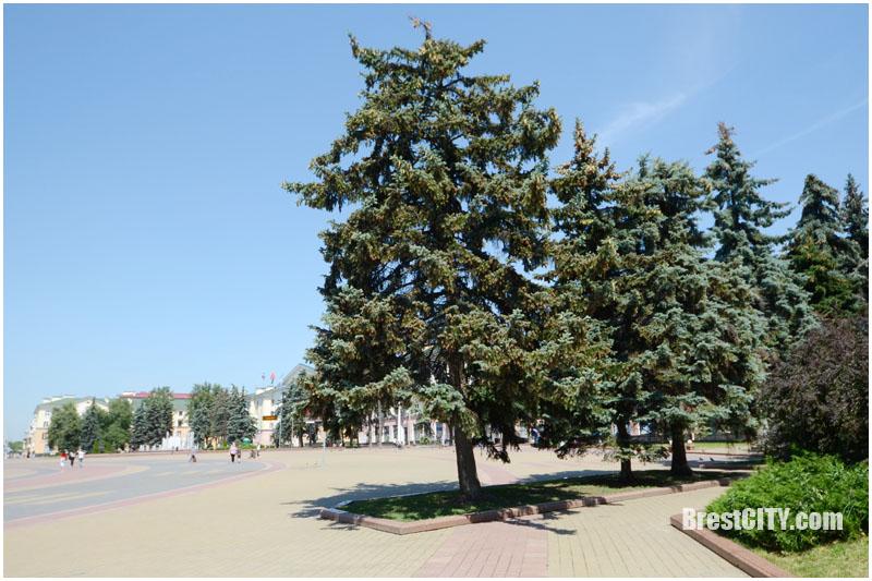 Ели на площади Ленина в Бресте не будут спиливать?