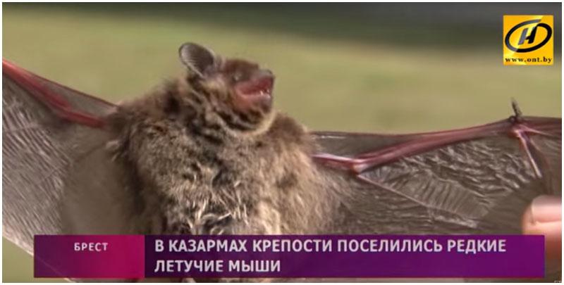 Летучая мышь в Брестской крепости