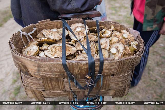 Сбор грибов в Ивацевичском районе