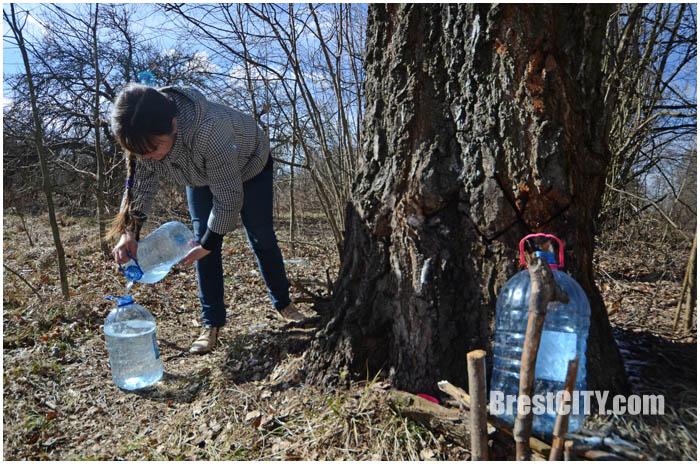 Заготовка березового сока в Брестской области. Фото BrestCITY.com