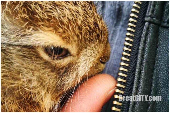 Водитель автобуса спас зайца на дороге в Бресте