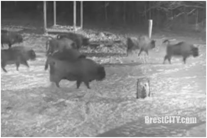 Зубры против волков в Беловежской пуще