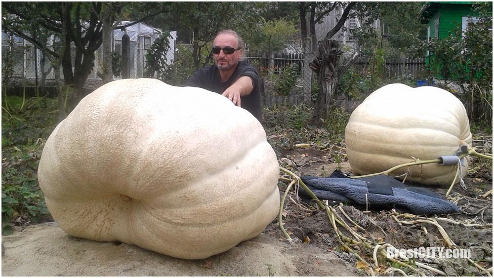 Под Брестом вырастили гигантские тыквы