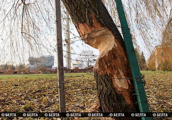 Бобры в Брестской крепости. Фото БелТА