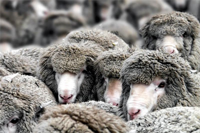 Стадо овец сбил поезд