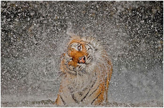 Тигрица в зоопарке Таиланда после выхода из бассейна