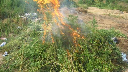 Сжигание конопли в Беларуси.