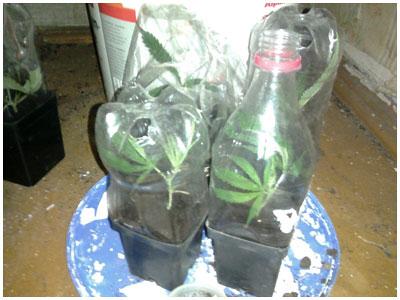 Выращивание конопли в домашних условиях технология как узнать употребляющего коноплю