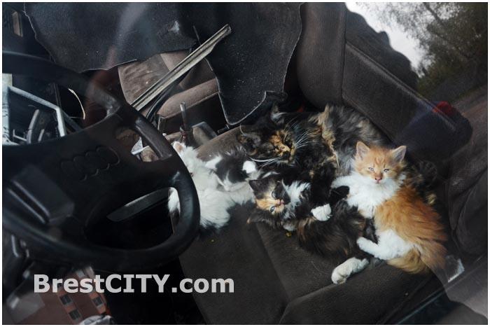 В Бресте в легковом автомобиле живут коты