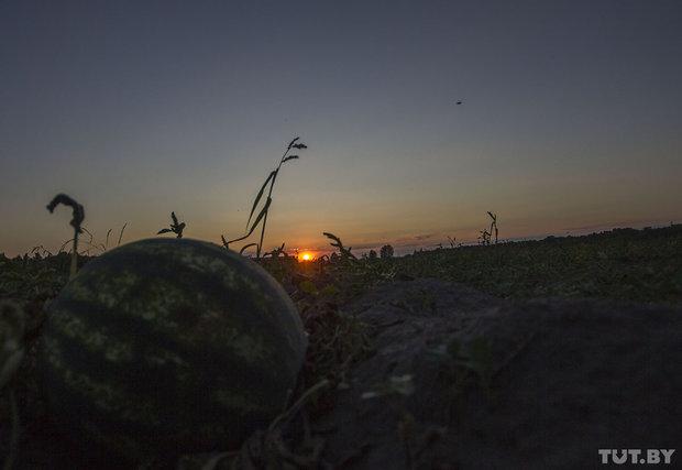 Арбузный фермер из Кобрина Олег Довжук. Сбор урожая