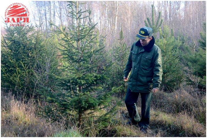Как в Бресте ищут елочных браконьеров