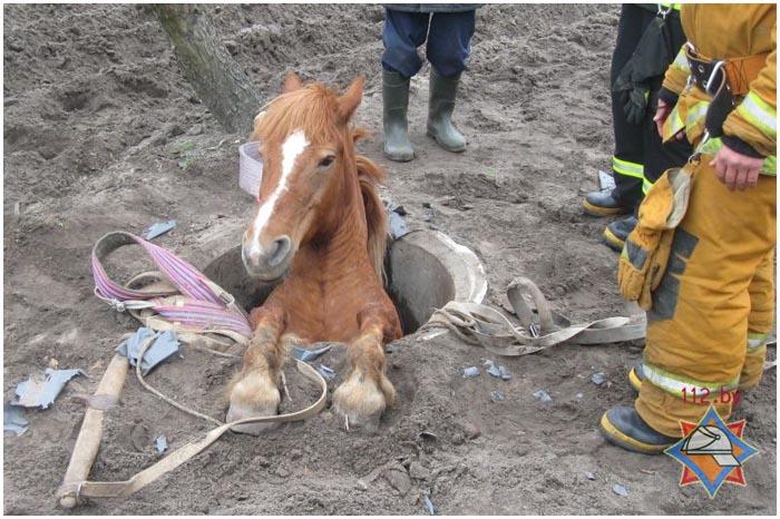 В канализационный люк провалилась лошадь