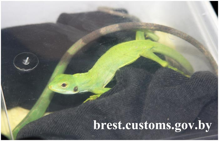 Живые рептилии на границе в Бресте