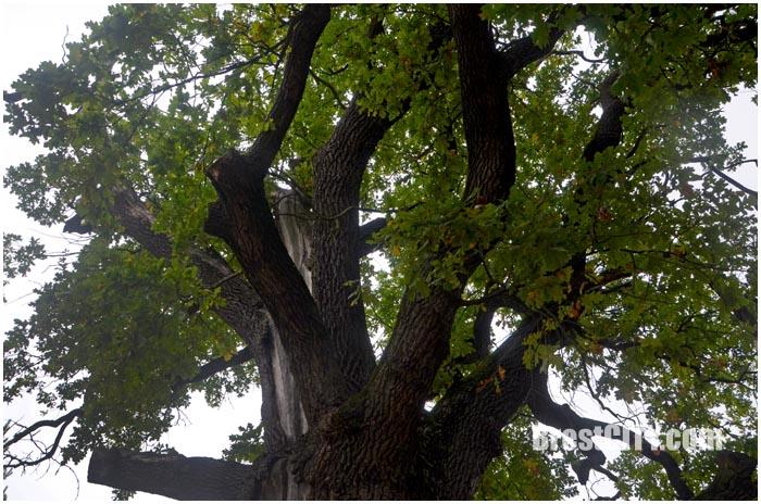 Суворовский дуб в Кобринском районе возле деревни Дивин. Фото BrestCITY.com