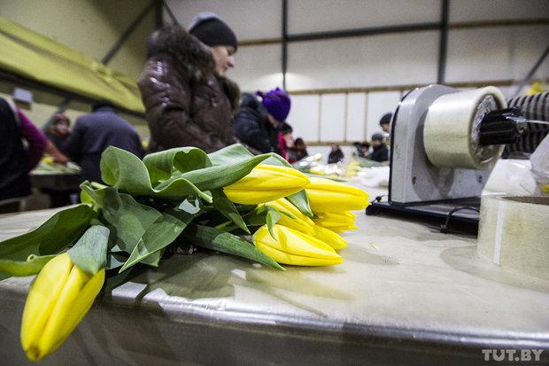 Выращивание тюльпанов. Семейный бизнес в Ивановском районе Брестской области