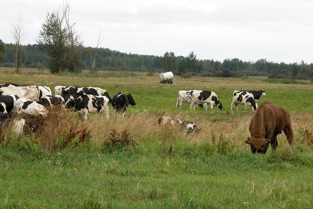 В Кобринском районе зубр прибился к стаду коров