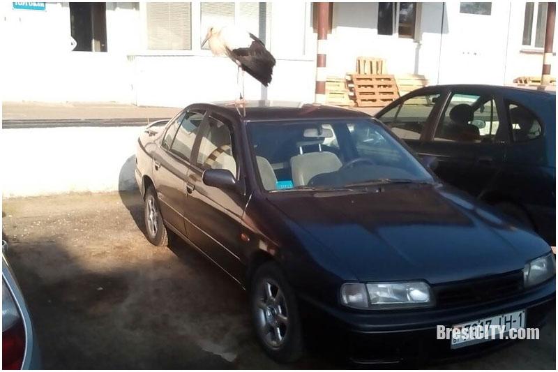 Аист на крыше автомобиля