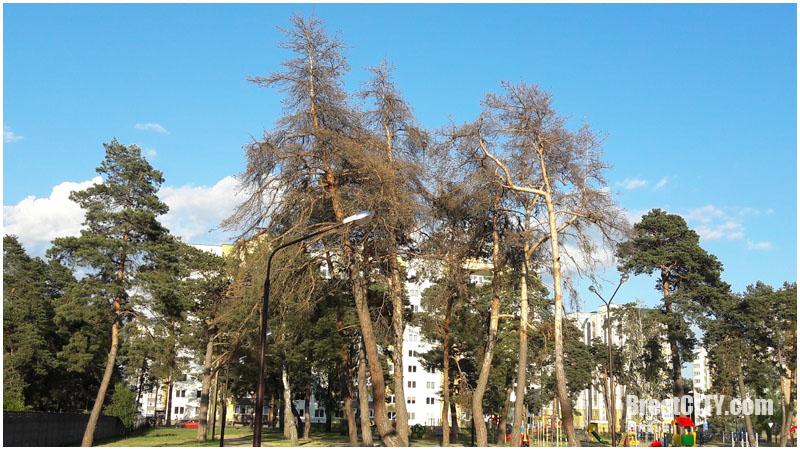 Сухие деревья возле школ в Бресте