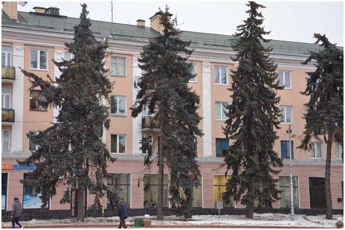 Старые ели на площади Ленина в Бресте