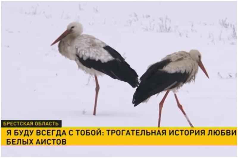 Аисты в Березовском районе